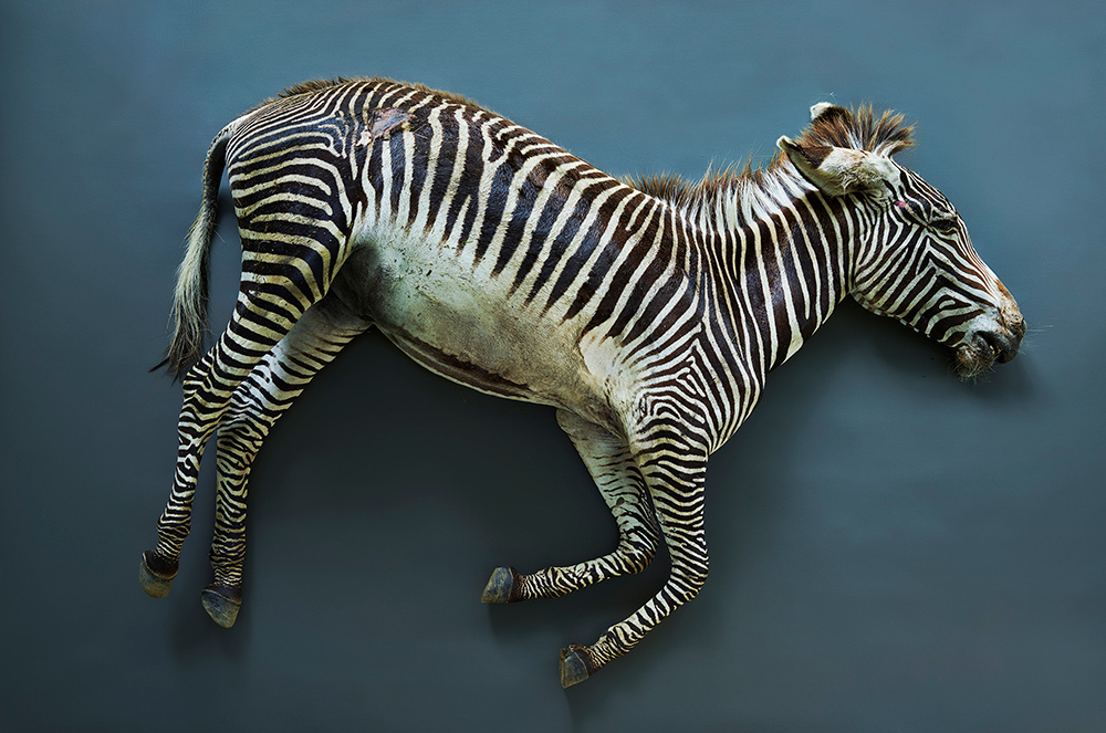 Cebra (Equus grevyi), Leibniz IZW, Berlín 2017 | | Guggenheim Bilbao Museoa
